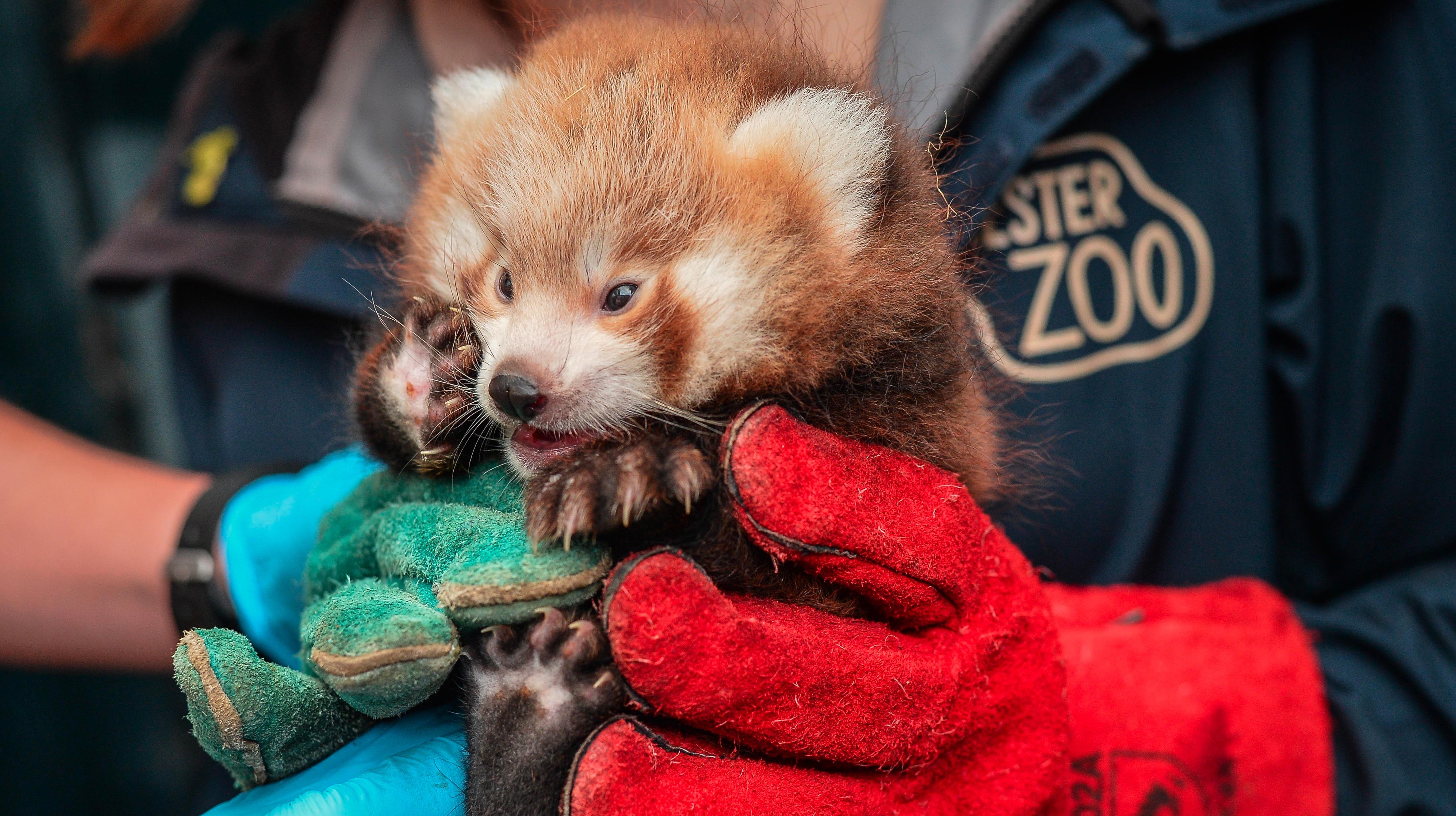 Panda cubs born at Chester Zoo | Granada - ITV News