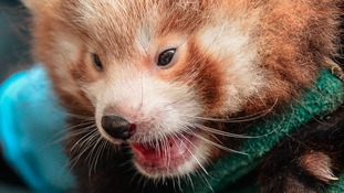 One of the Red Panda cub twins.