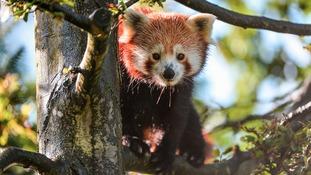 Red Panda dad Jung.