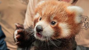 Red Panda cub.
