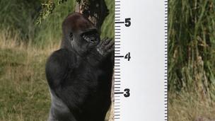 Kumbuka the silverback gorilla