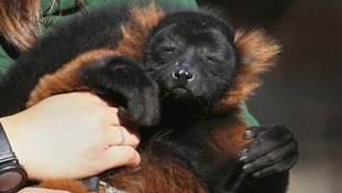 Sid the red ruffed lemur