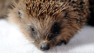 Gardeners warned they could seriously hurt hedgehogs