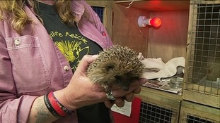 Injured hedgehog