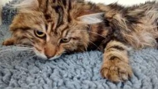 Cat that was left seriously injured after it was thrown from an apartment building