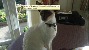 Roxy is an 11-month-old Siamese cat from Kings Heath.