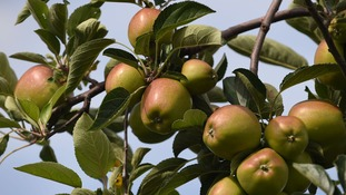 An early spring could mean a good season for British apples and pears
