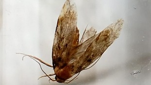 The moth after it was removed by a surgeon from Mr Fielding's ear