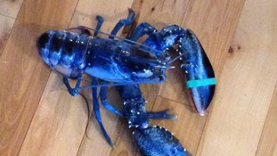 Skyler, the bright blue lobster.