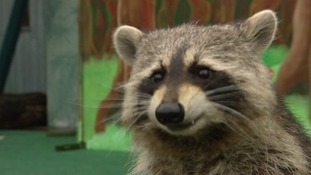 Raccoon predicts England's Euro clash result
