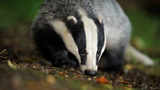 Badger cull to go ahead