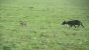 Warning posters go up over hare coursing crackdown.