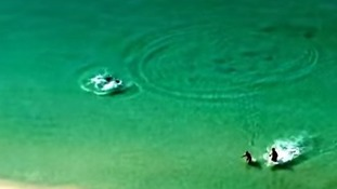 The shark appears to be more interested in a stingray than the two paddling humans.
