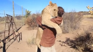 The lioness giving Gruener a full-blooded greeting.