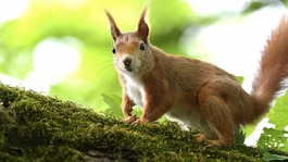 Leprosy threatens Scotland's red squirrels