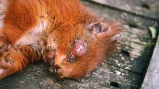 People should report infected squirrels immediately to a red squirrel charity