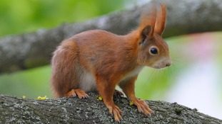 The red squirrel population is threatened by diseases and grey squirrels