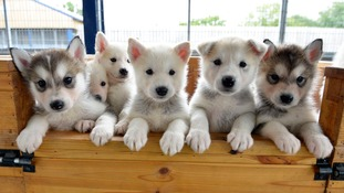 These husky cross puppies are among those 'wolf-like' breeds looking for a home.