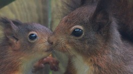 Experts hail red squirrel 'wonder-mum'