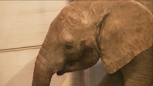 Janu the African bull elephant