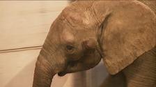 Janu the African bull elephant