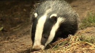"""Public safety is a priority"" in policing the badger cull"