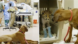 Raina the puppy during and after the surgery on Ruuxa the cheetah.