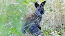 Wanda, Wiltshire's wandering wallaby, has died