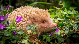 Winnie the hedgehog