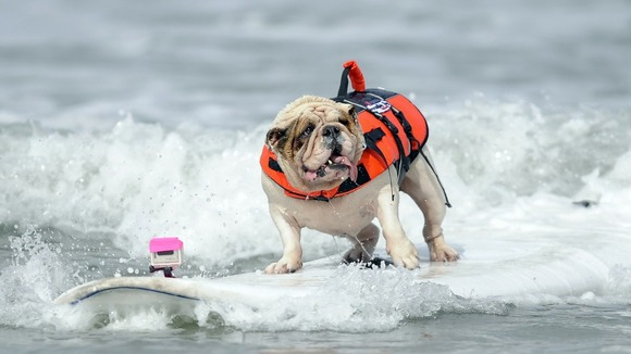 Betsy, a seven-year-old Bulldog, rides a wave during the surfing competition.