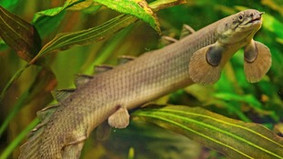 The air-breathing bichir fish.