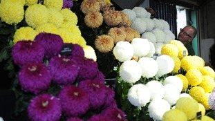Chrysanthemums on show as exhibitors prepare their stands
