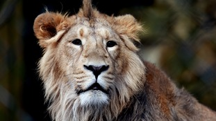 Gerard Depardieu allegedly shot two lions while on holiday in Africa