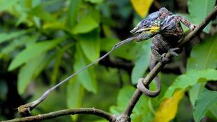 A chameleon snares its prey.