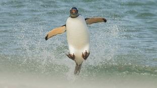 A Gentoo penguin.