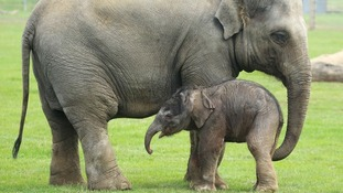 Herd back elephant mum as she gives birth to new baby