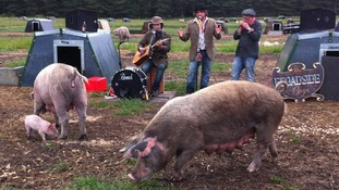 Pigs enjoying music