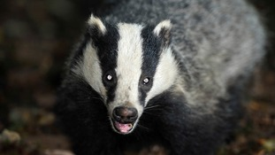 The controversial badger culls will be discussed in Manchester