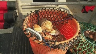 Scallops are put in a pot on board the fishing boat