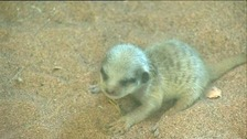 The baby meerkat has not yet been named