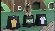raccoon predicts