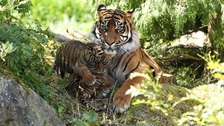 Populations of species such as tigers are important indicators for the health of our environment.