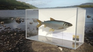 The vendace was declared 'locally extinct' in Cumbria