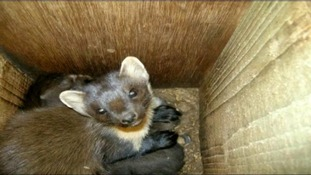 DNA from pine martens fur will be sent to Ireland
