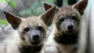 A stock image of two hyenas.