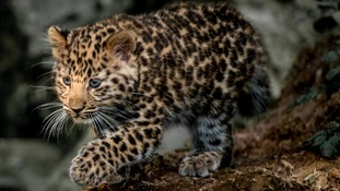'Leopard cub in the light'