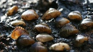 Quagga mussels can produce a million eggs in one season