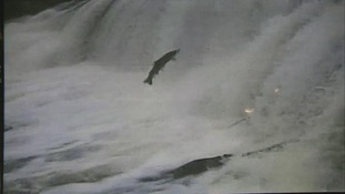 A salmon jumps over the cauld