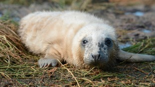 First seal pup of the year born on Farne Islands
