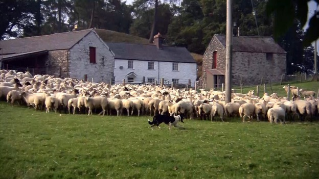 WTW SHEEPDOGS FOR WEB